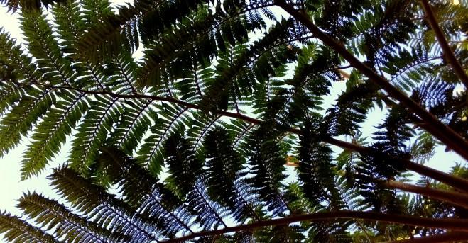 Fern green - magnificant tree fern