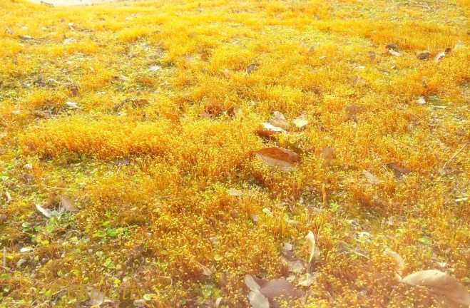 Sunglow - sprouting groundcover