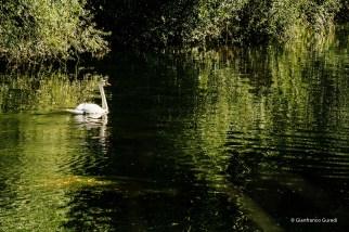 Cisne, y en el agua del Pas