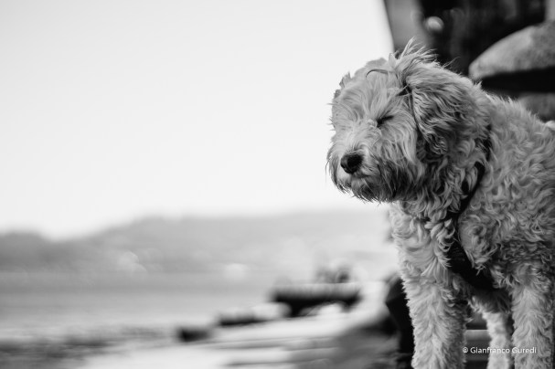 Perro de aguas.