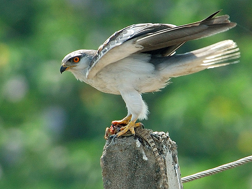A black-shouldered kite with prey. The image is CC by Tariq Sani.
