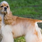 Purchase Toy Cocker Spaniel Puppies For Sale Up To 66 Off