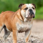 English Bulldog Puppies For Sale English Bulldogs Greenfield Puppies