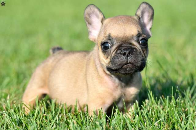 french bulldog puppies for sale - frenchie puppies | greenfield puppies