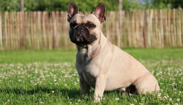 french bulldog puppies for sale - frenchie puppies | greenfield