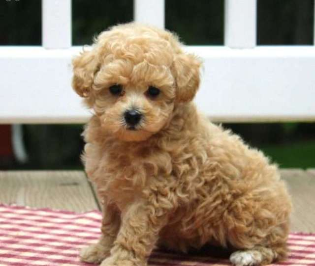 Chloe Toy Poodle Puppy