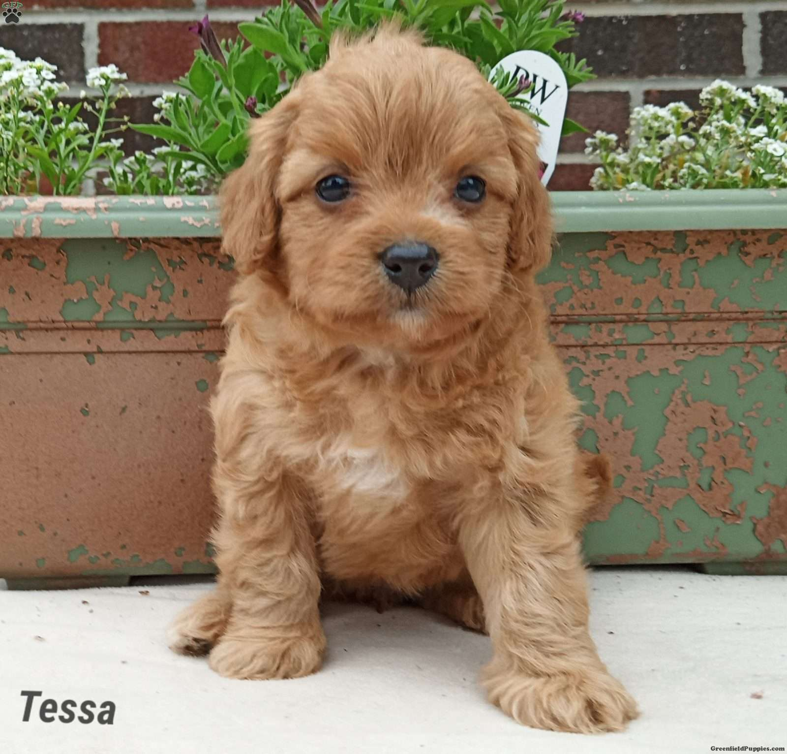 tessa forever puppy for