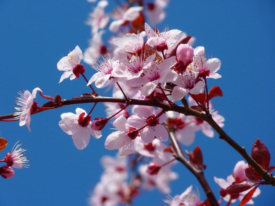 almond flower Tenerife