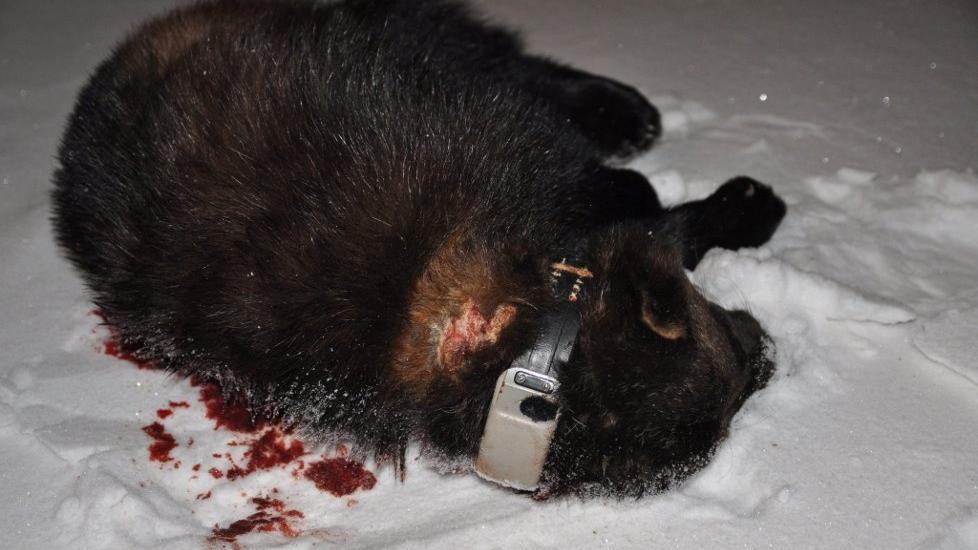 SKADE: Denne jerven har fått et stort sår som kan komme av at den har gått med et halsbånd som blir benyttet i forbindelse med forskning. Foto: Sonja E. Andersen / Finnmark Dagblad