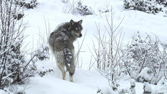 Ulv i snøen (Foto: Liv Engholm/NRK)