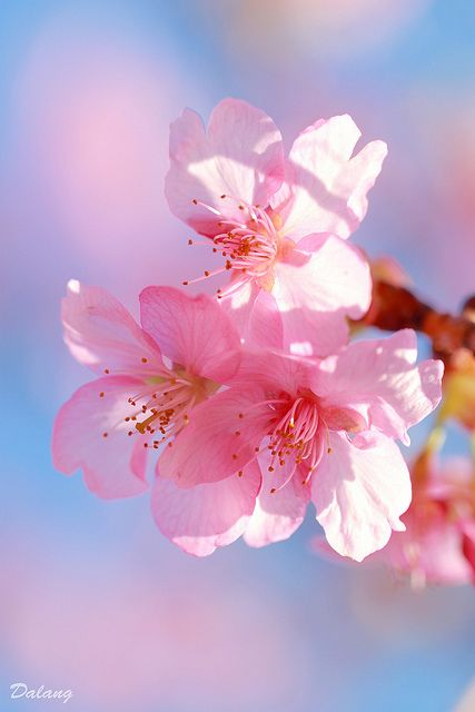Cherry Blossom Wallpaper Hd صور ورد خلفيات اجمل الخلفيات الطبيعيه بنات كول
