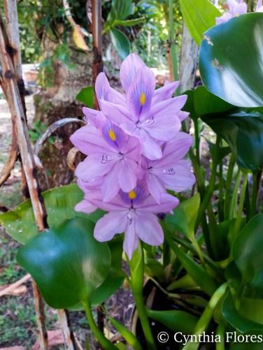 purpleliliesjudy042016-2