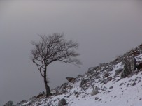 Copacul vedetă