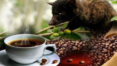 """صورة أغلى """"قهوة"""" في العالم من فضلات الحيوانات"""