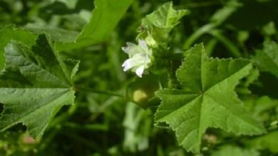 صورة ماذا يجب أن تعرف عن نبتة الخبيزة وفوائدها المذهلة!