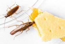 صورة أفضل طريقتين للتخلص من الصراصير الصغيرة