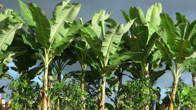 صورة لن تصدق.. 12 فائدة صحية لأوراق الموز!
