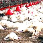 Bird Flu: Plateau farmers tasked on timely report
