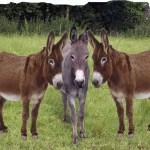 Ghana's Donkey Population Going Extinct Chinese To Blame