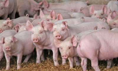 Doctors Successfully Transplant Pig Kidney To Human Patient