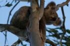 Koala Peeking