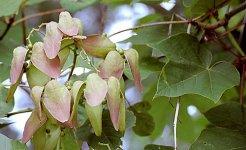 Hoa ngô đồng phương Bắc