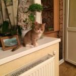 Характер британской - шотландской  короткошерстной кошки.