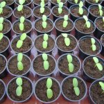 Как вырастить рассаду перца.