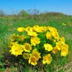 Средство регулирующее сердечную деятельность-весенний горицвет.