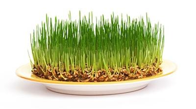 Как прорастить зерно?
