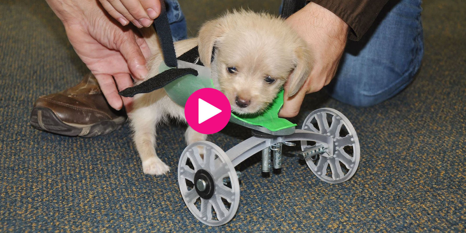 Puppy Born Without Front Legs Takes First Steps With Wheelchair  Legless Puppy Video