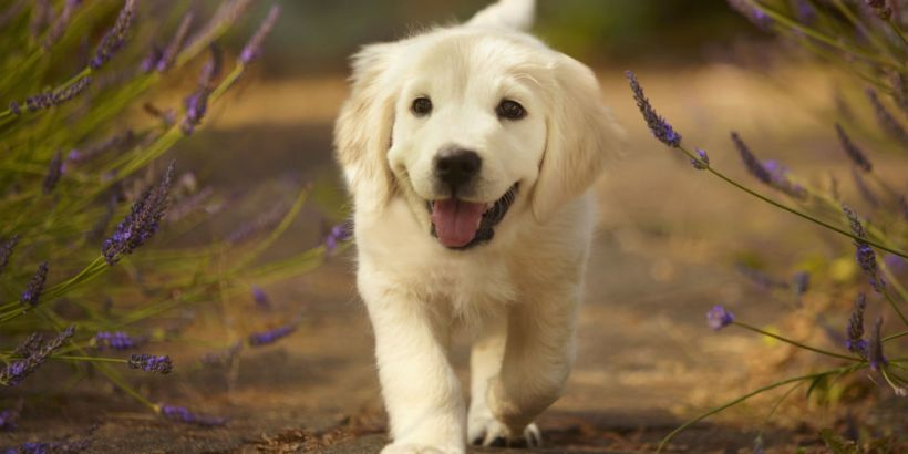 Cute Pictures Of Dogs Wallpaper Images - 25 photos that prove golden retrievers are the cutest puppies
