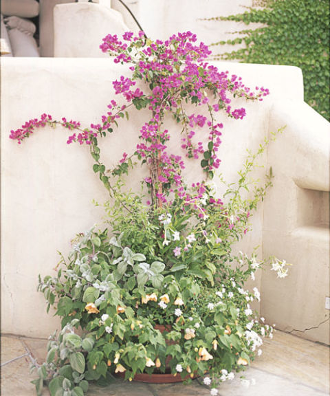 Liven up a plain patio wall with a sun-seeking climber, like bougainvillea — the twining vertical vines balance the bushiness below. A simple stake in the dirt is all the trellis you'll need.