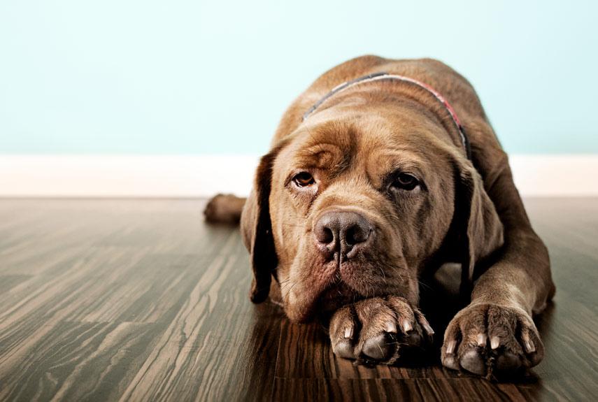 Resultado de imagem para dog depression
