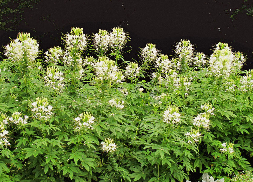 """Genus: C. hassleriana 'White Queen' Zones: All Zones Cost: $1 to $4 Expert says: """"To make a big splash in a sunny area, plant cleome. From late June to frost, you'll have four- to five-inch spiderlike blooms."""" — Jon Carloftis, landscape designer, Lexington, Kentucky"""