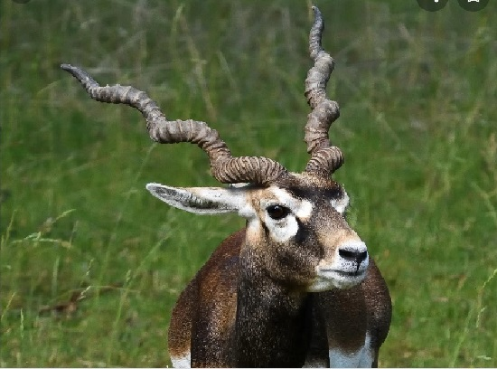 Woman attacked by wild antelope succumbs to death