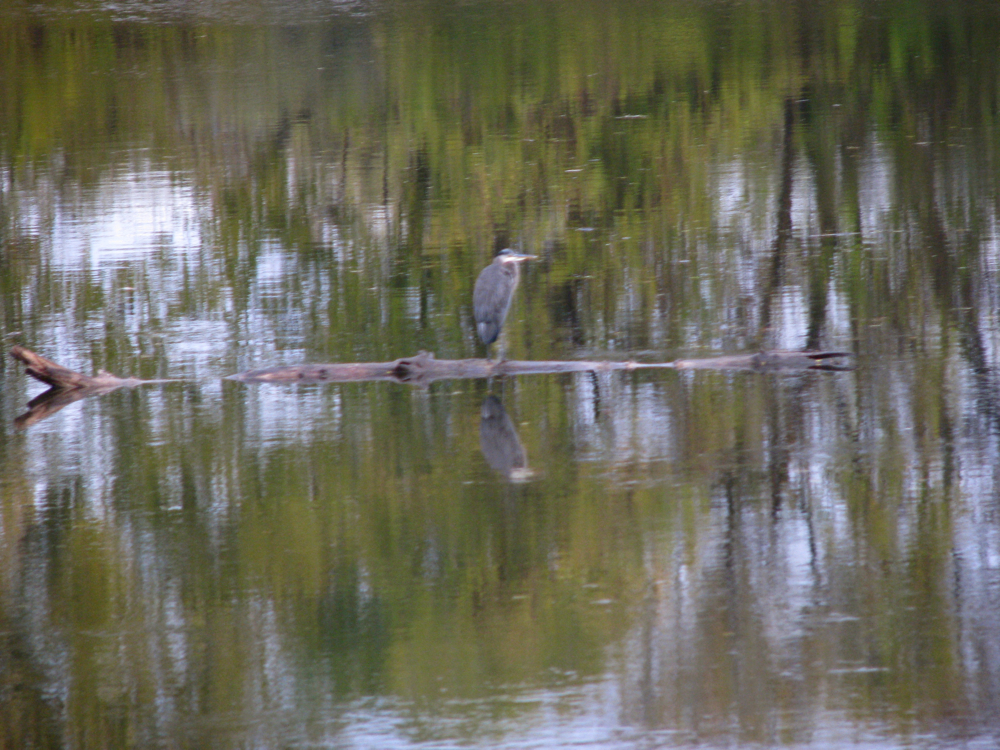 blue heron on the Mohawk along the Schenectady Stockade - 24Oct09