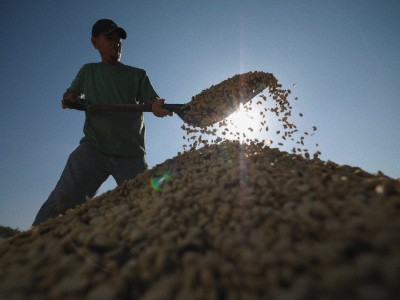 Worker Shoveling Coffee Beans