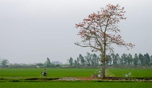 Cánh đồng mùa hoa gạo