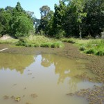 our half-acre pond with first stages of giant salvinia