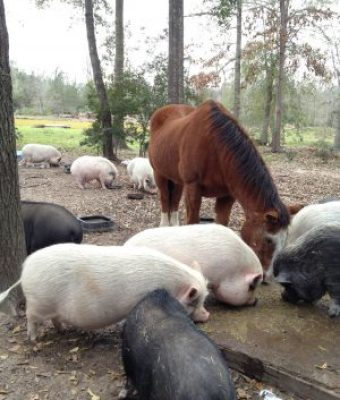 horse and pigs eathing lunch and living in peace