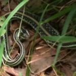Garter snake after eating frog