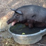 Dennis the wild boar swimming