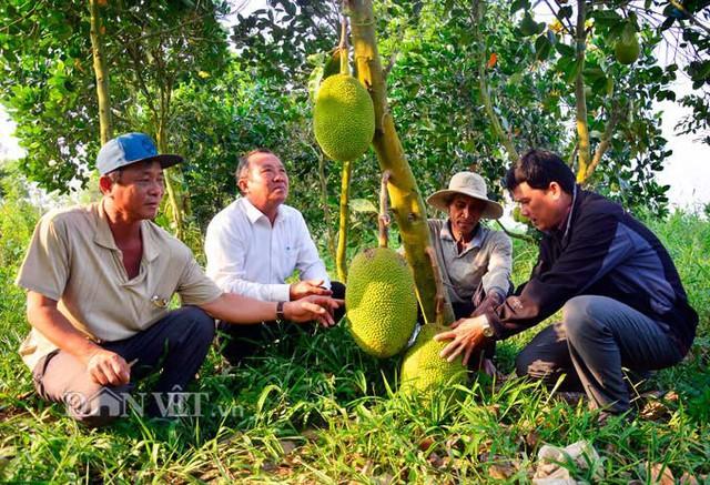 Mô hình trồng mít Thái của ông Danh Bảnh, xã Thạnh Trị, huyện Tân Hiệp, tỉnh Kiên Giang. Ảnh: NQ.