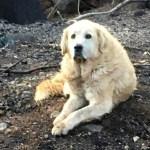 Sống sót sau cháy rừng, chú chó ở California vẫn về nhà cũ chờ chủ