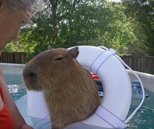 Capibara, gran roedor
