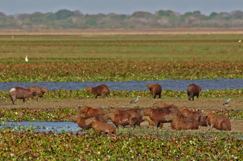 Image result for wild capybara