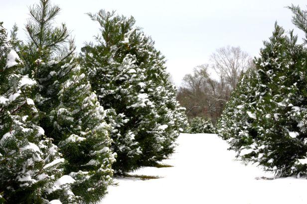 https://i0.wp.com/giantsandpilgrims.com/wp-content/uploads/2015/12/christmas-tree-farm-fojctvp7.jpg?w=616
