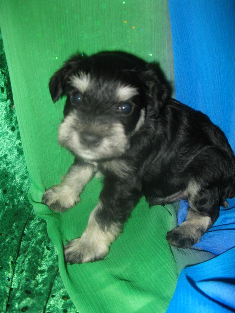 French Valley Ranchs Giant Schnoodles and Miniature Schnauzers  ALL OF OUR PET PUPPIES WHICH
