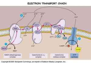 Electron transport chain | animalcellbiology